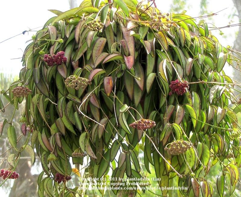 Photo Of The Entire Plant Of Wax Plant Hoya Wayetii Posted By