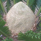 "Location: Houston, Texas, outdoors, full sunDate: May 17, 2009 3:43 PMKing Sago Palm female ""flower\"" beginning"