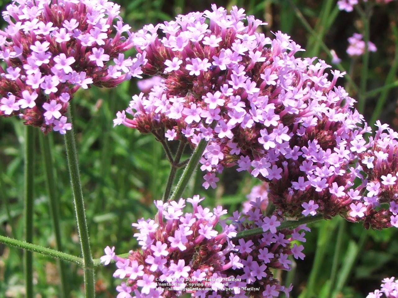 Photo of Tall Verbena (Verbena bonariensis) uploaded by Marilyn
