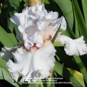 Location: My garden in Northern KYDate: May 25, 2010 8:59 AMGorgeous Iris!