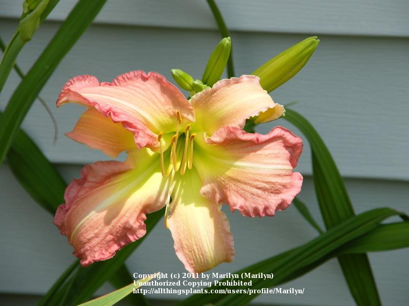 Photo of Daylily (Hemerocallis 'Summer Wind') uploaded by Marilyn