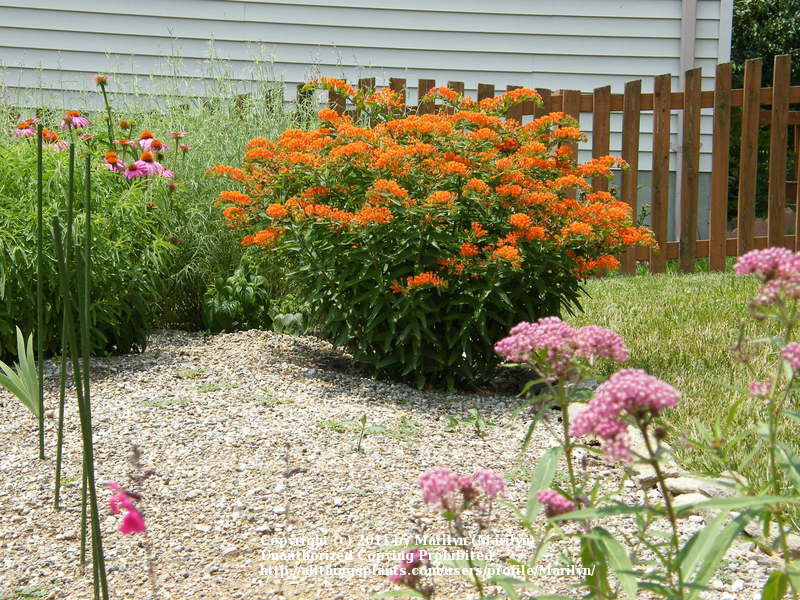 Photo of Butterfly Weed (Asclepias tuberosa 'Gay Butterflies') uploaded by Marilyn