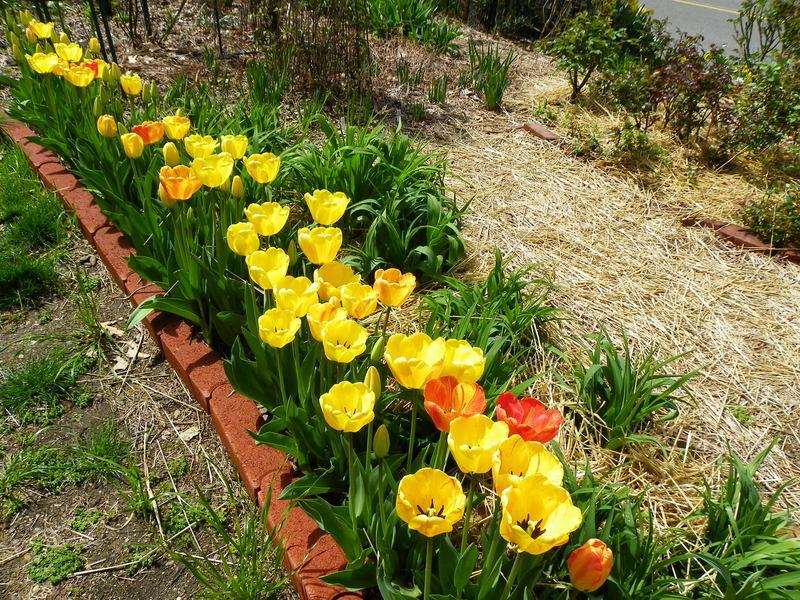 Photo of Darwin Hybrid Tulip (Tulipa 'Beauty of Apeldoorn') uploaded by Newyorkrita