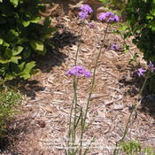 Location: TexasVerbena bonariensis
