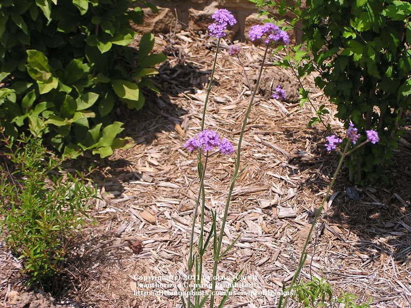 Photo of Brazilian Verbena (Verbena bonariensis) uploaded by okus