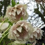 Location: Lincolnshire, England, UKDate: Apr 1, 2010 8:36 AMSemi-double Hellebore orientalis