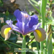 Location: Lincolnshire, England, UKDate: Jun 9, 2008 8:48 AMTwo coloured Dutch Iris