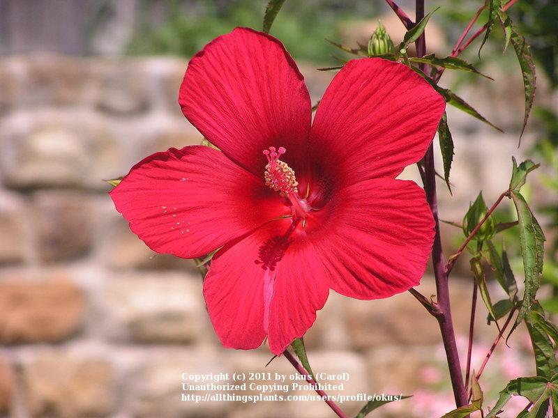 Photo of Texas Star (Hibiscus coccineus) uploaded by okus