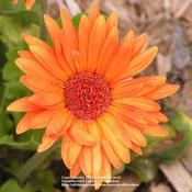 Location: TexasOrange Gerbera
