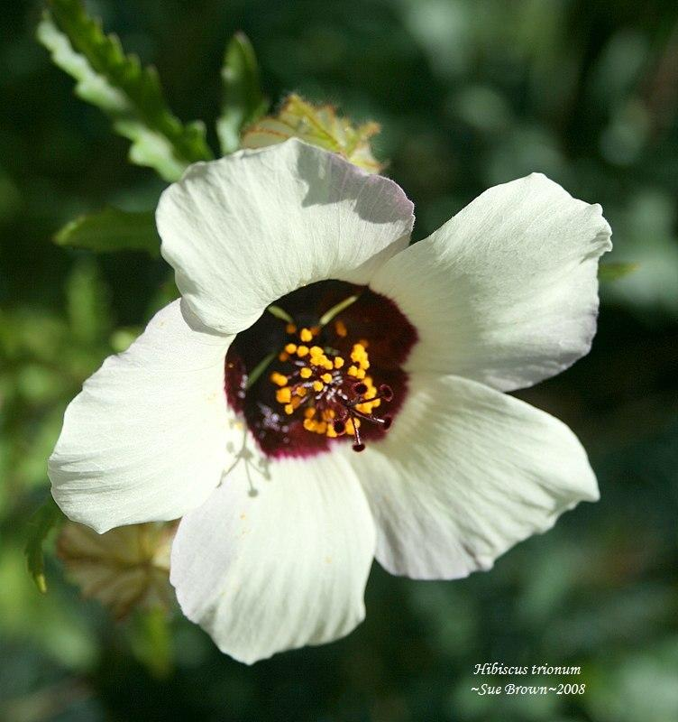 Photo of Flower of an Hour (Hibiscus trionum) uploaded by Calif_Sue