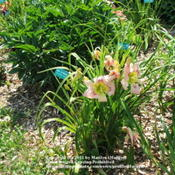 Location: Valley of the Daylilies in Lebanon, OH. Home of Dan and Jackie BachmanDate: Jul 7, 2005 11:48 AM