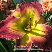 Location: Valley of the Daylilies in Lebanon, OH. Home of Dan and Jackie BachmanDate: Jul 8, 2005 10:49 AMGorgeous!