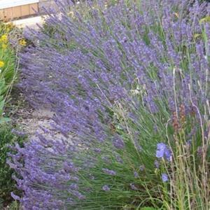 English lavender in England