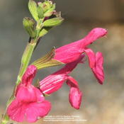 Location: My garden in Northern KYDate: Jul 2, 2006 12:32 PMLove this Salvia!  Color is gorgeous!
