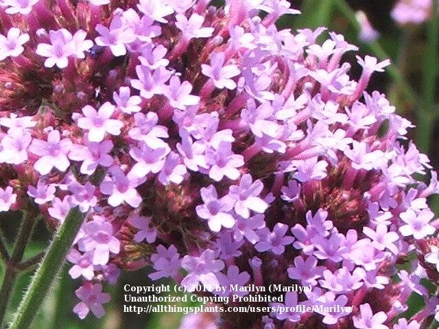 Photo of Brazilian Verbena (Verbena bonariensis) uploaded by Marilyn