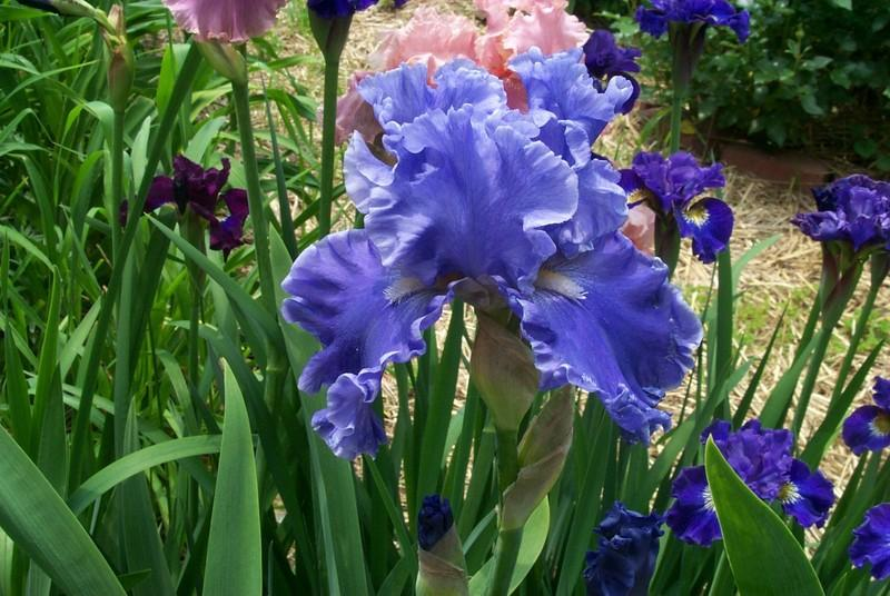 Photo of Tall Bearded Iris (Iris 'Sea Power') uploaded by Newyorkrita