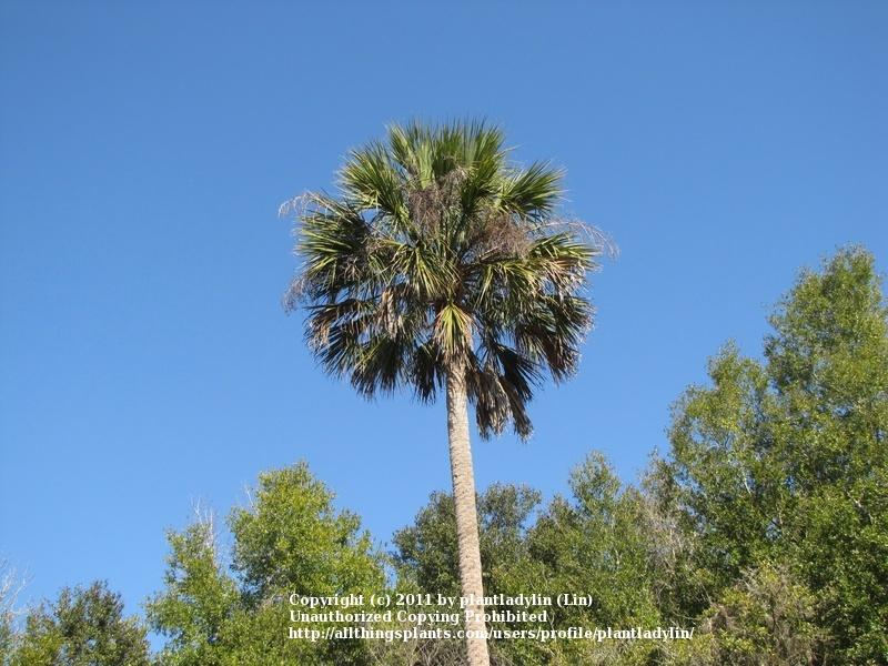 Photo of Sabal Palm (Sabal palmetto) uploaded by plantladylin