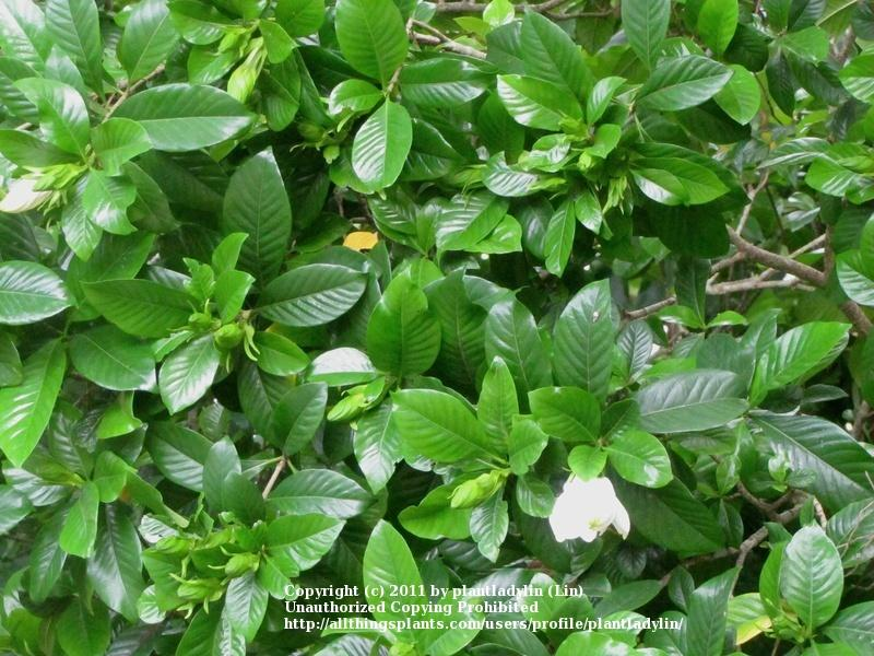 Photo of Gardenia (Gardenia jasminoides) uploaded by plantladylin