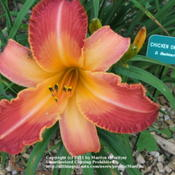 Location: Valley of the Daylilies in Lebanon, OH. Home of Dan (the hybridizer) and Jackie BachmanDate: Jul 9, 2005 10:14 AM