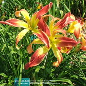 Location: Valley of the Daylilies in Lebanon, OH. Home of Dan (the hybridizer) and Jackie BachmanDate: Jul 11, 2005 4:26 PM