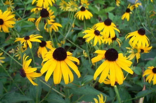 Photo of Black Eyed Susans (Rudbeckia) uploaded by Sharon