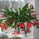 All About Schlumbergera