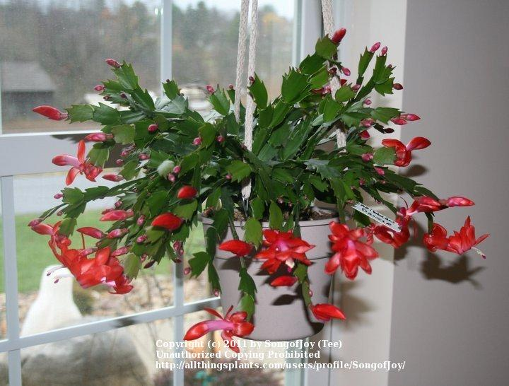 Christmas Cactus Blooming.All About Schlumbergera Garden Org