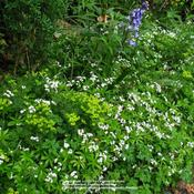 Location: mDate: Apr 26, 2009 9:25 AMbeautiful groundcover..