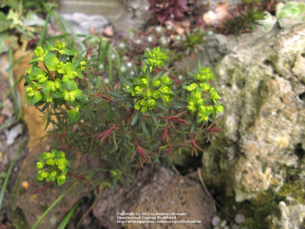 Photo of Cypress Spurge (Euphorbia cyparissias 'Fen's Ruby') uploaded by bonitin