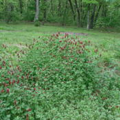 Location: Northeastern TexasDate: April 16, 2010Crimson clover has naturalized throughout much of North America