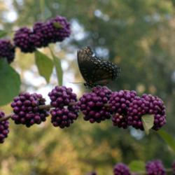All About American Beautyberry