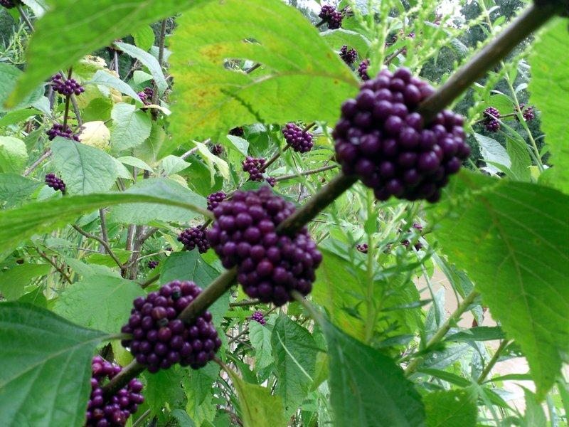 All About American Beautyberry Garden Org