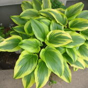 Location: Pleasant Grove, UtahDate: May 22, 2011 11:09 AMThis is a great hosta