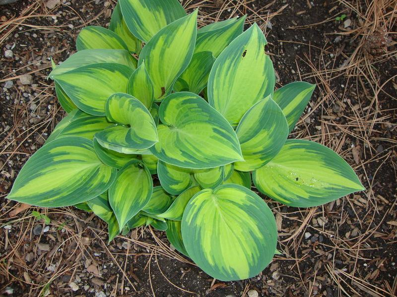 Photo of Hosta (Hosta 'June') uploaded by Paul2032