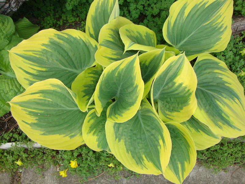 Photo of Hosta 'Liberty' uploaded by Paul2032