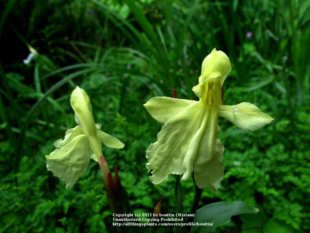 Photo of Roscoea (Roscoea x beesiana) uploaded by bonitin