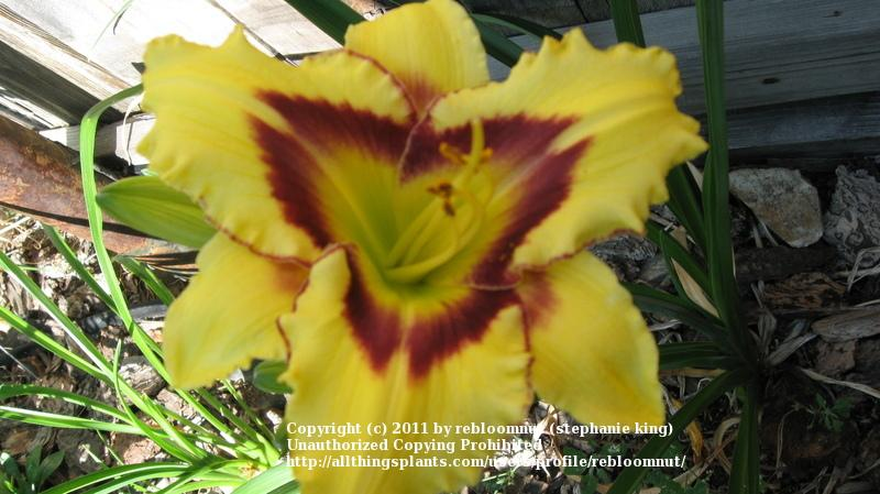 Photo of Daylily (Hemerocallis 'El Desperado') uploaded by rebloomnut