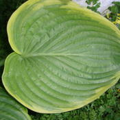 Location: Pleasant Grove, UtahDate: Jun 2, 2011 8:32 PMVictory...leaf detail