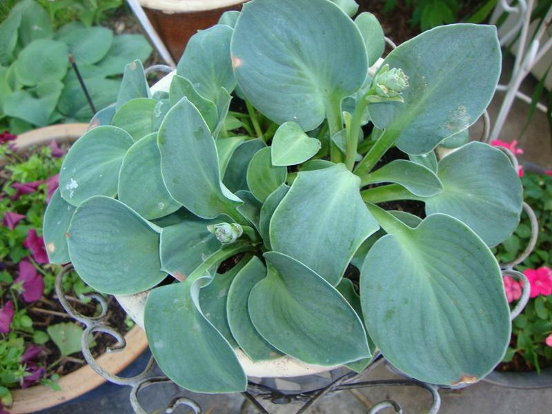 Photo of Hosta 'Blue Mouse Ears' uploaded by Paul2032