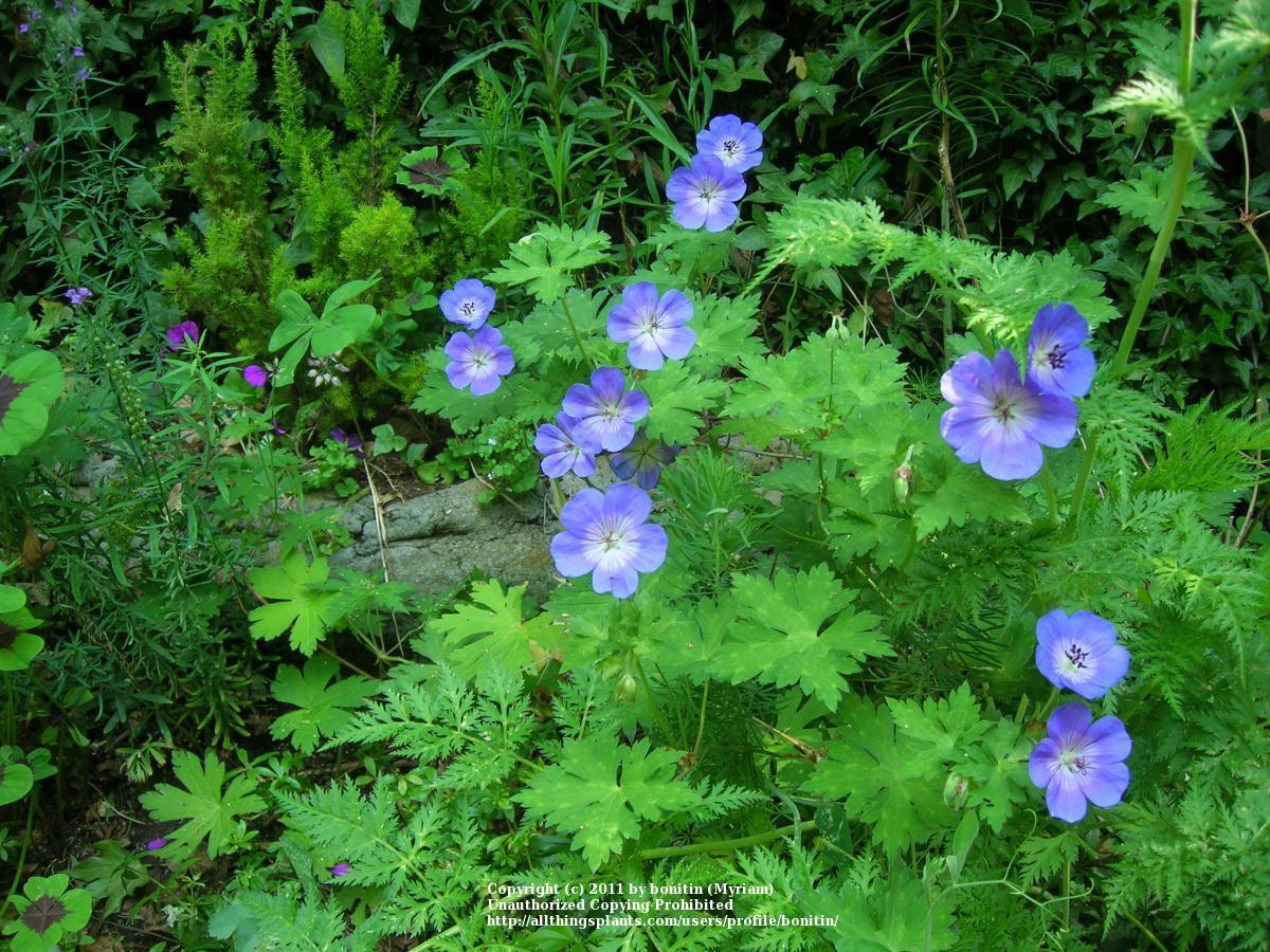 Photo of Hardy Geranium (Geranium 'Jolly Bee') uploaded by bonitin