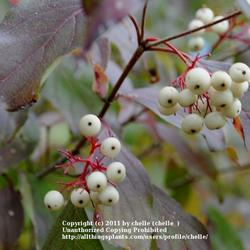 Attract Songbirds with Fruiting Shrubs