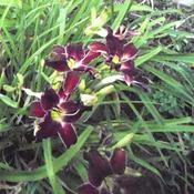 Location: Daylily garden, mostly sun. Planted with Asiatic 'Sophie'.Date: Jul 20, 2011 6:04 AMChocolate Cherry Dream