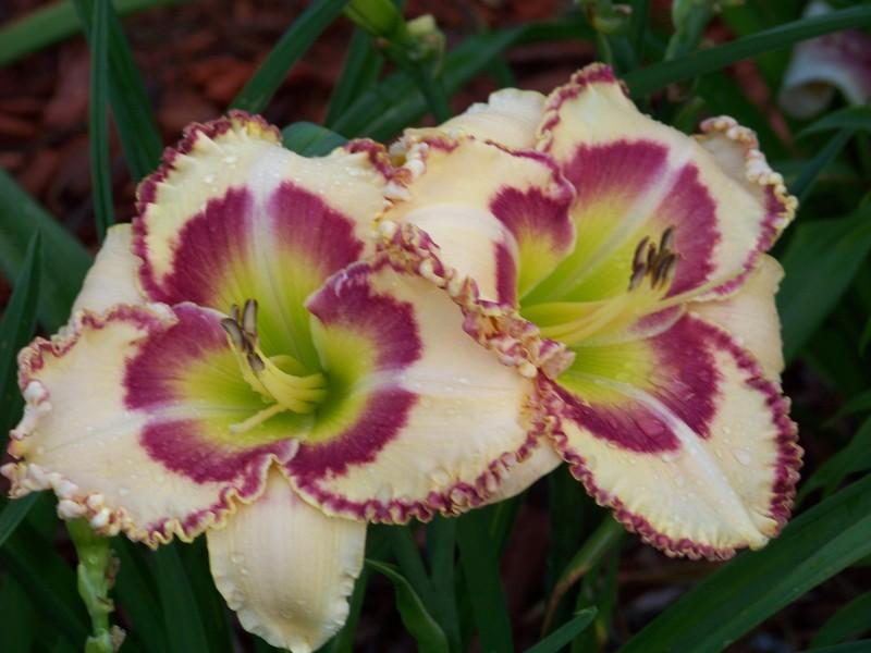 Photo of Daylily (Hemerocallis 'Lady Betty Fretz') uploaded by mattsmom