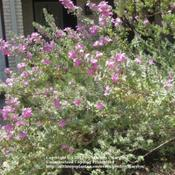 Location: Houston, TXDate: Sep 29, 2011 11:46 AMflowering branches