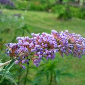 Location: Western KentuckyDate: 2011-06-09A 2 year old butterfly bush, now over 6' tall