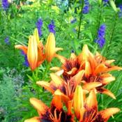 Location: Full sun z 6a Pittsford NYDate: Jul 2, 2010 5:46 AMOrange art with larkspur