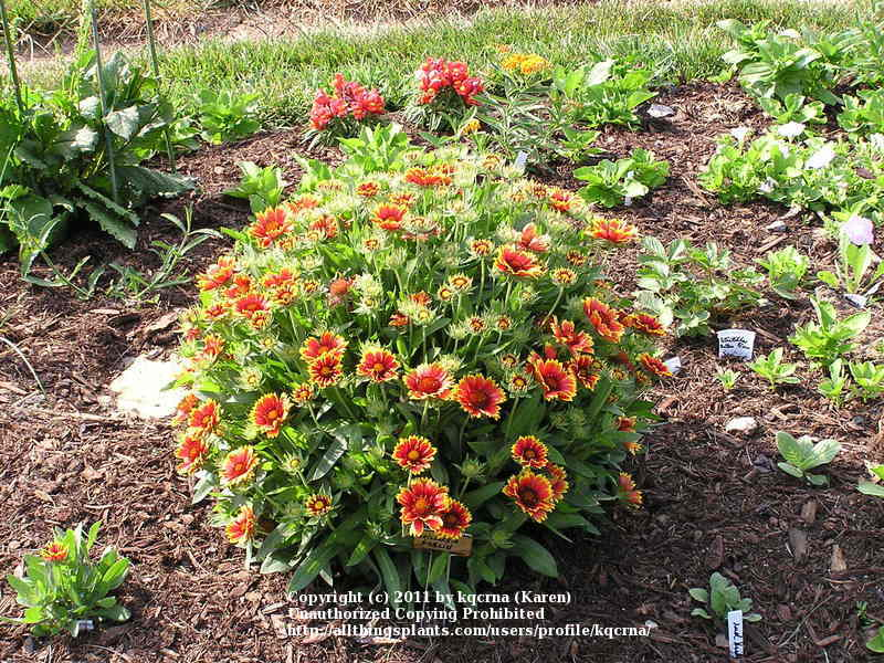 Photo Of The Entire Plant Of Blanket Flower Gaillardia Goblin