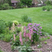Location: Cincinnati, OhDate: May 2008Verbascum Southern Charm shown growing with common chives
