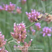 Location: Cincinnati, OhDate: July 2007Hummingbird moth on verbena bonariensis