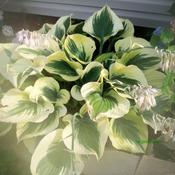 Location: Portsmouth neighbour.Date: July-2011This Hosta gets a lot of afternoon sun.